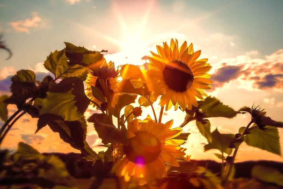 zwiazkimilosci.pl: słoneczniki na tle zachodzącego słońca