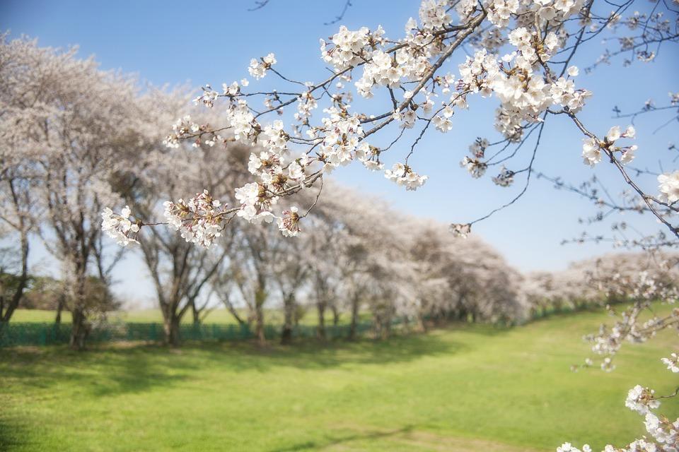 zwiazkimilosci.pl: białe kwiaty wiosną szereg rozlożystych drzew