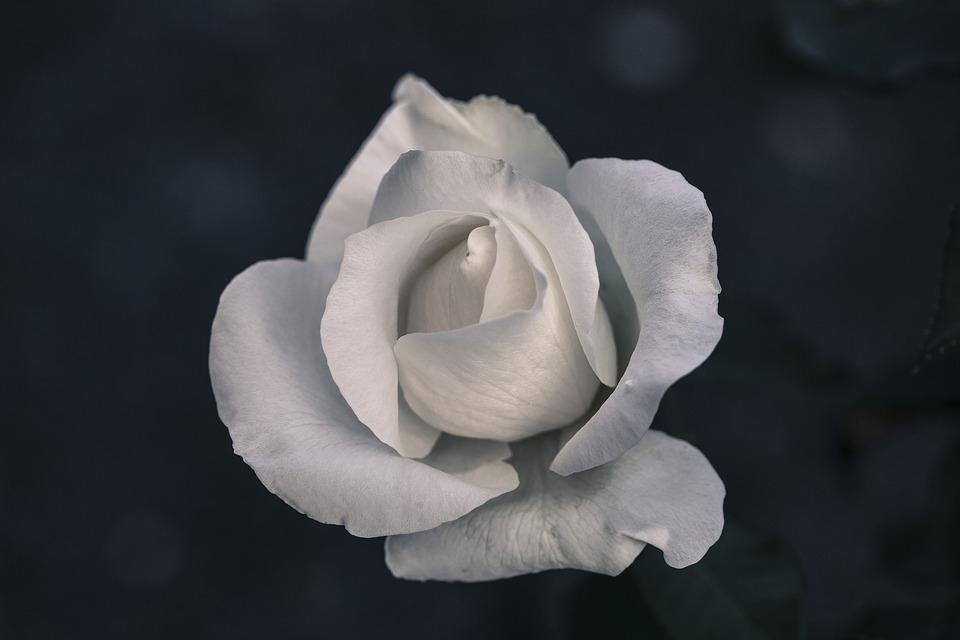 zwiazkimilosci.pl: biała róża na czarnym tle
