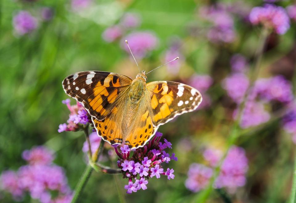 zwiazkimilosci.pl: piękny motyl pośród fioletowych kwiatów
