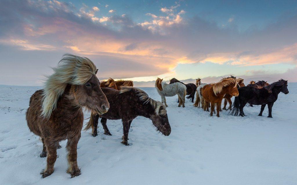 piękne konie stojące w śniegu